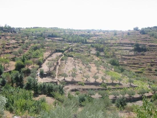 bancales de olivos