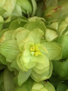 Flor de lupulo abierta