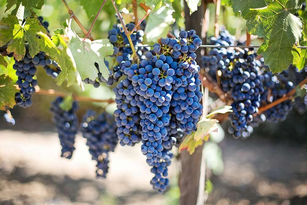 No se puede hacer vino sin buenas uvas