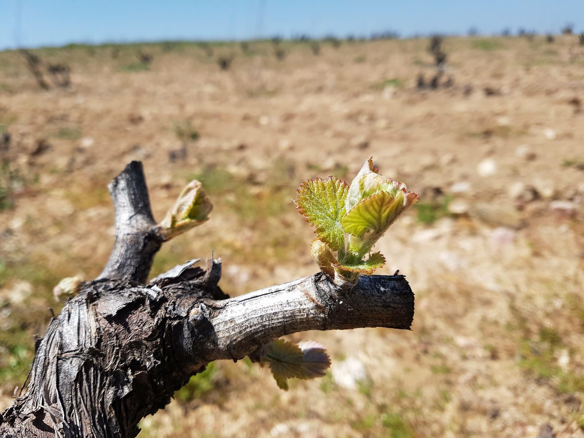 Brotacion de las viñas en Ribera del Duero