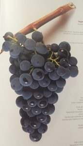 Racimo de uvas Rufete Tinto
