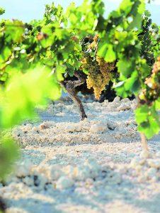 Variedad de uva Palomino adaptada al suelo de albariza que contiene mucha cal