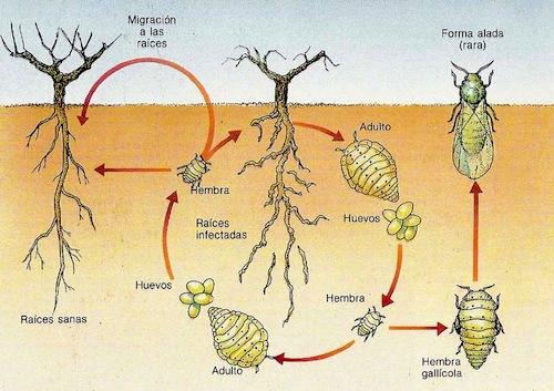 Ciclo biológico del insecto Filoxera